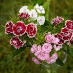 Flowers M - Z