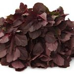 AMARANTHUS RED LEAF