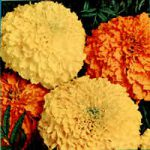 MARIGOLD DOUBLE LARGE MIXED