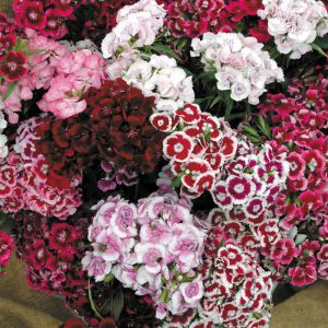 dianthus-super-duplex-mix