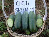 CUCUMBER F1 GREEN 10
