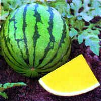 SEEDLESS WATERMELON F1 YANGTSE