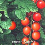 TOMATO F1 CHERRY 1