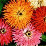 ZINNIA CACTUS FLOWER