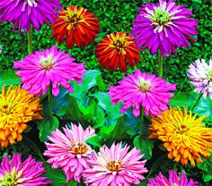 Flowers F - L