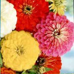 ZINNIA CALIFORNIA GIANT MIXED