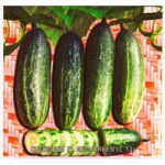 CUCUMBER F1 NEW GREEN
