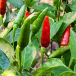 HOT PEPPER THAILAND