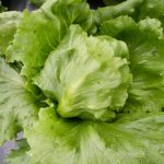 LETTUCE ARIZON1