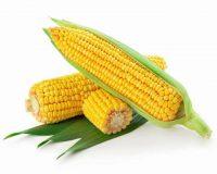 Maïs et maïs sucré